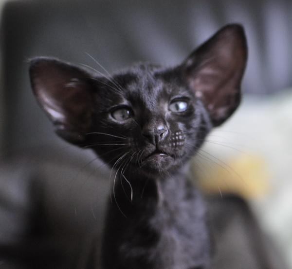 http://www.shimaya.ru/foto/kittens2011/U-litter/12.jpg